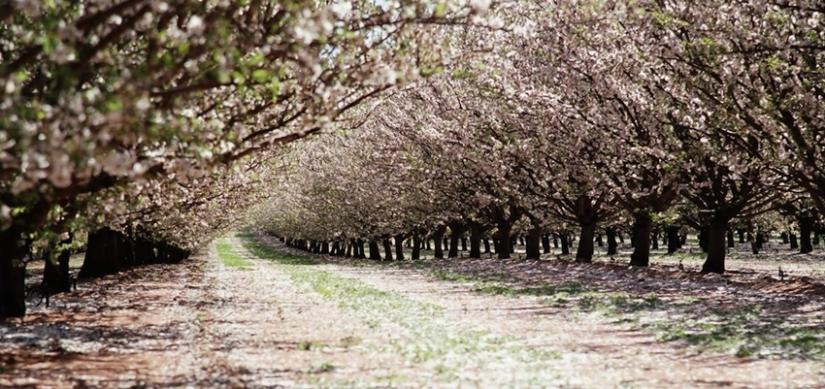 almondharvest